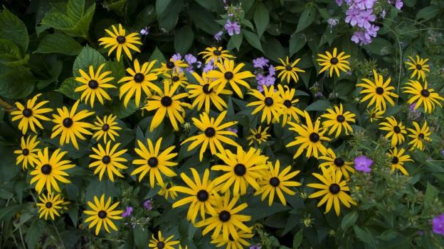 Prächtig goldgelbe Blüten an ranken sich an ein Gitter.