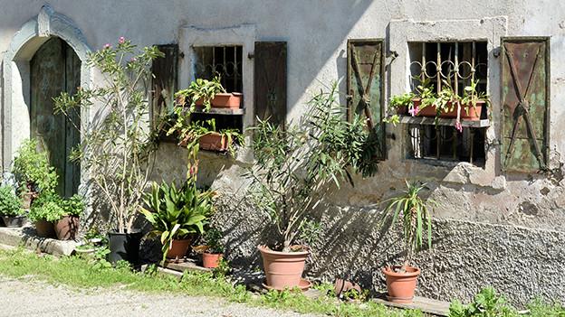 Mehrere Kübelfplanzen an einer Hausmauer stehend.
