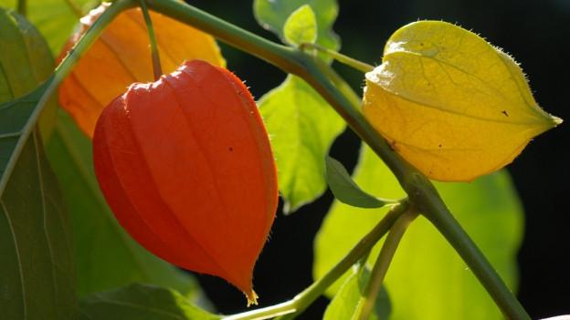 Orangefarbene kleine Lampionblüten