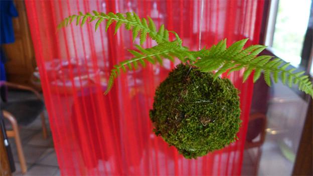 Ein Moosball mit Farn hängt vor einem dünnen roten Vorhang.