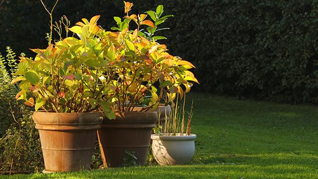 Kübelpflanzen in einem herbstlichen Garten.