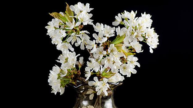 Zweige mit weissen Kirschblüten in einer Glasvase.