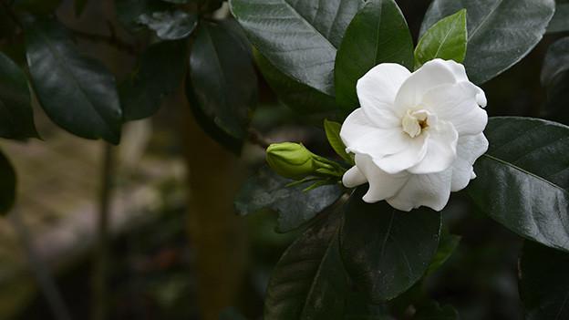 Weisse Blüte auf einem dunkelgrünen Blatt.