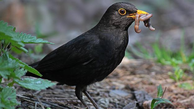Eine schwarze Amsel mit einem Wurm im Schnabel.