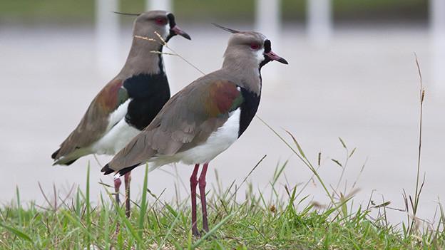 Ein Vogelpaar steht am Ufer eines Flusses.
