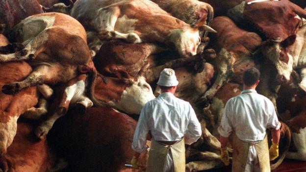 Rinderkadaver türmen sich vor Arbeiter auf.