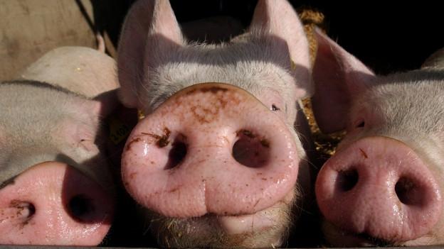 Schweine halten ihre Rüssel in die Kamera.