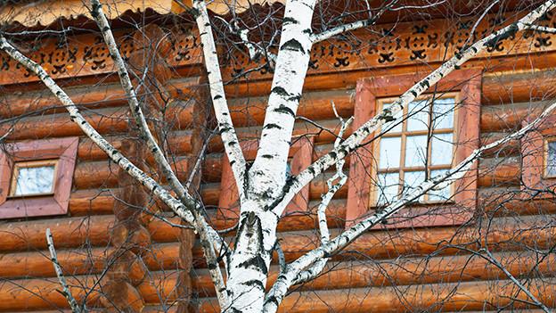 Zweige und Stamm einer Birke vor den Fenstern eines Holzhauses.