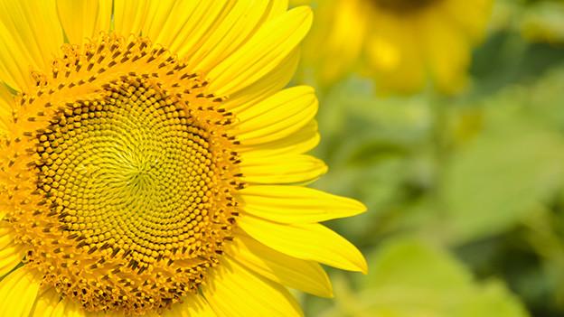 Grossaufnahme einer Sonnenblume.