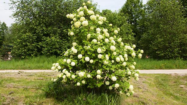 Ein grosser grüner Strauch mit weissen Blüten.