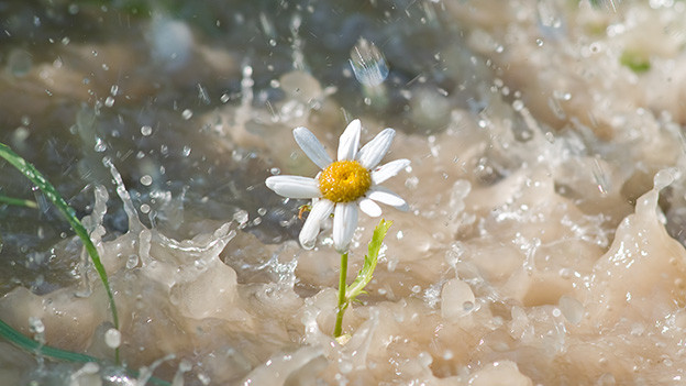 Regen prasselt auf eine kleine Margerite