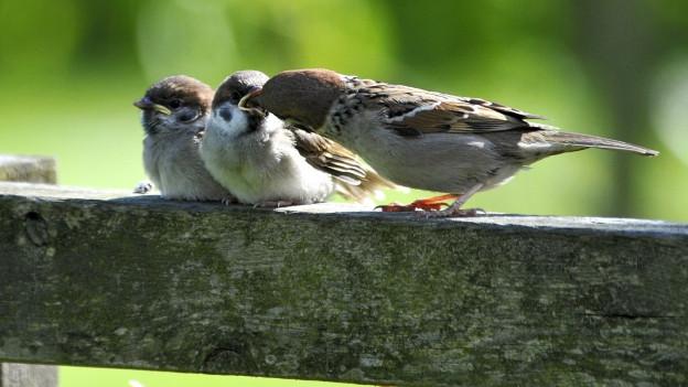 Drei Vögel auf Zweig.