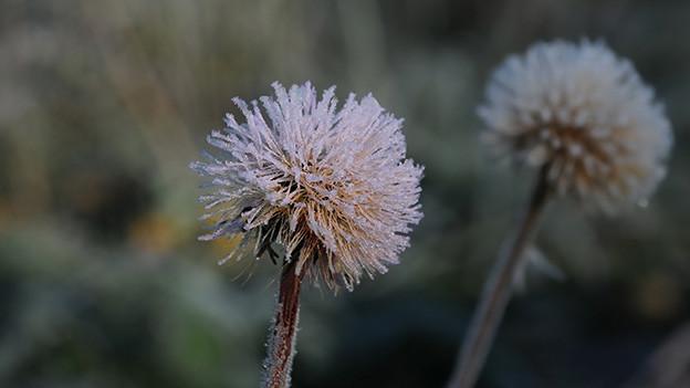 Eiskristalle auf einer Löwenzahnblume.