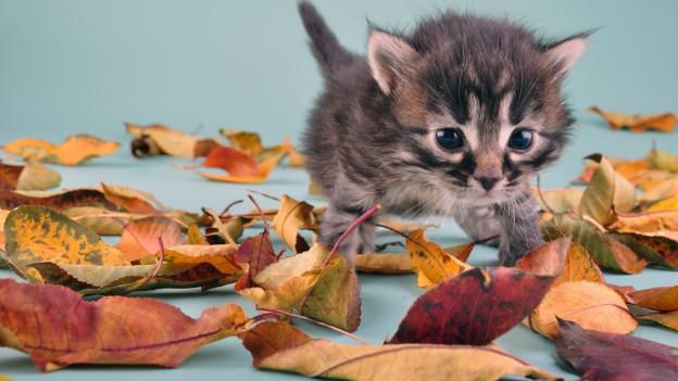 Katzenbaby auf Herbstblättern.