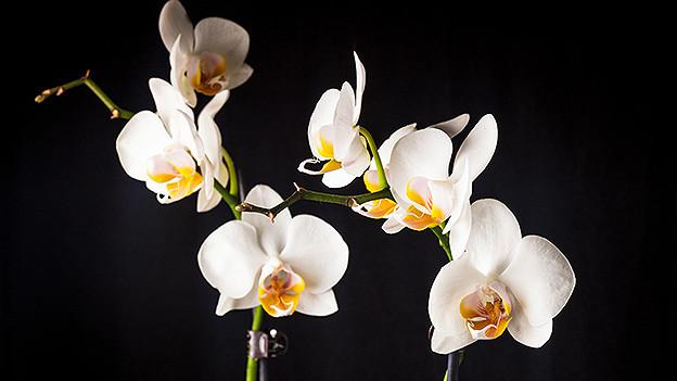 Weisse Blüten einer Orchidee.