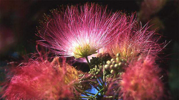 Eine Blüte mit feinen, fadenartigen und rosaroten Blüten.