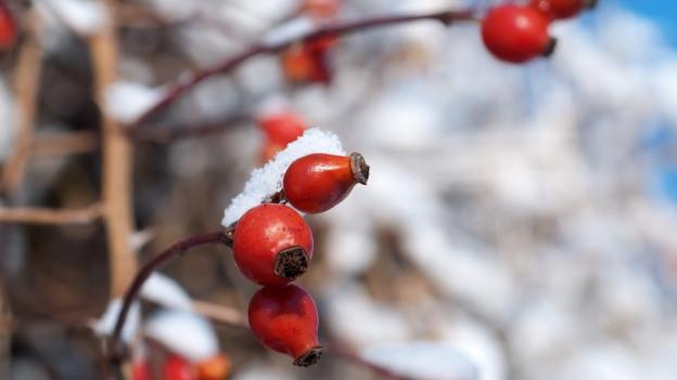 Hagebuttenzweig im Winter