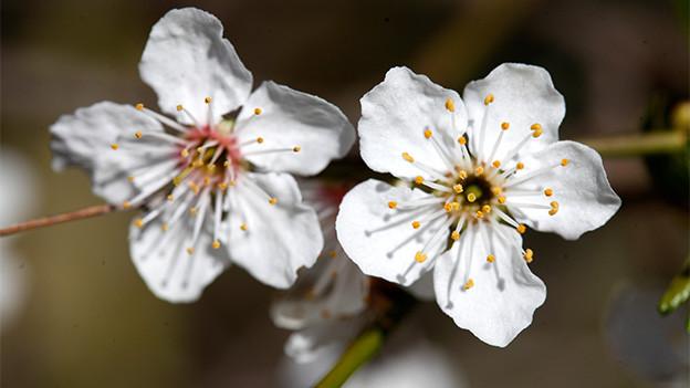 Zwei grosse offene Kirschblüten.