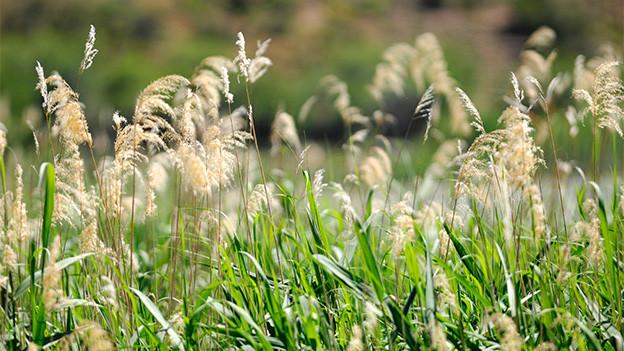 Feine Gräser am Ufer eines Sees.