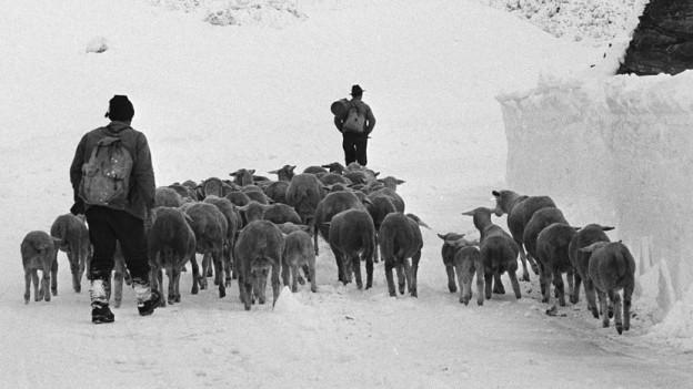 Alphirten mit Kühen
