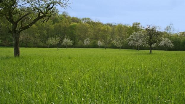 Grüne Wiese mit blühenden Bäumen.