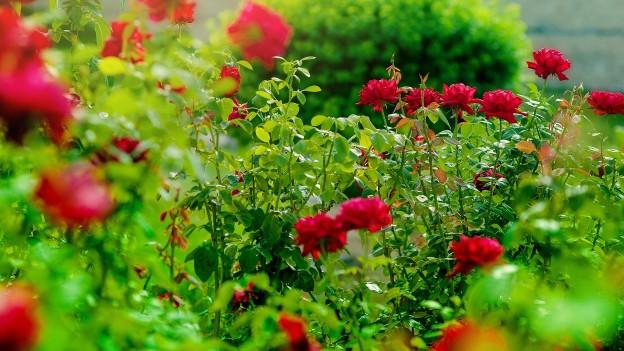 Ein Rosengarten mit roten Rosen.