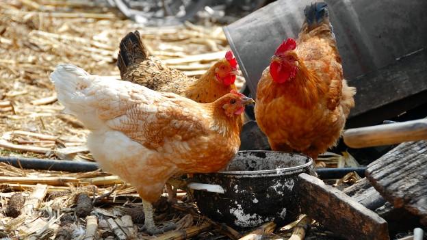 Drei Hühner stehen vor einem Fressnapf.
