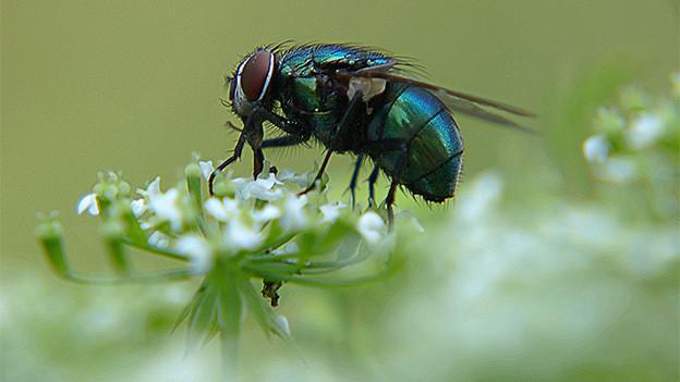 Eine Fliege sitzt auf einer Blüte.