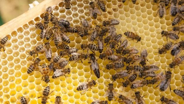 Bienen auf einer Bienenwabe.