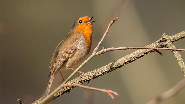 Ein kleiner Vogel sitzt auf einem dünnen Ast und singt.