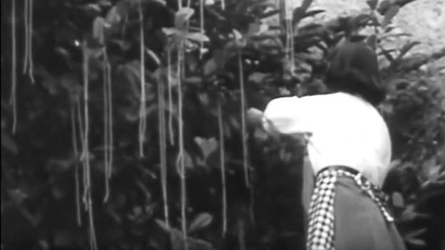Ein Ausschnitt aus dem BBC-Beitrag: Frau pflückt Spaghetti vom Baum.