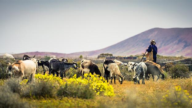 Hirt und Herde auf einem weiten Feld.