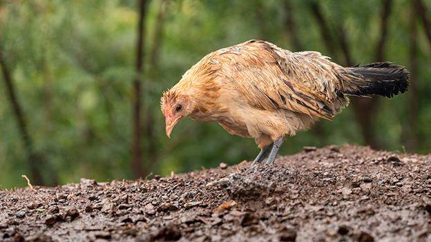 Ein nasses Huhn mit gesenktem Kopf.