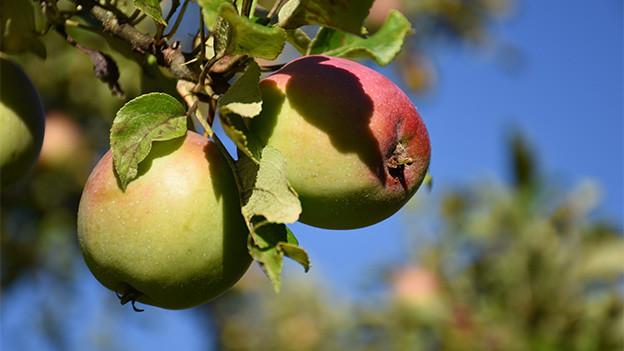 Reife Früchte an einem Apfelbaum.