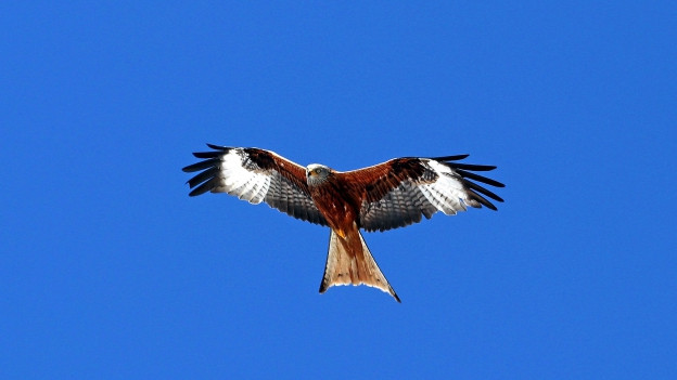 Den Rotmilan, auch Gabelweih genannt, erkennt man an seinem langen gegabelten Schwanz.