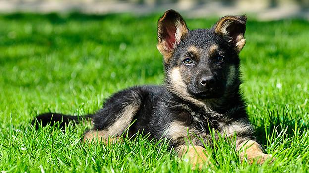 Ein junger Hund liegt in einer grünen Wiese.