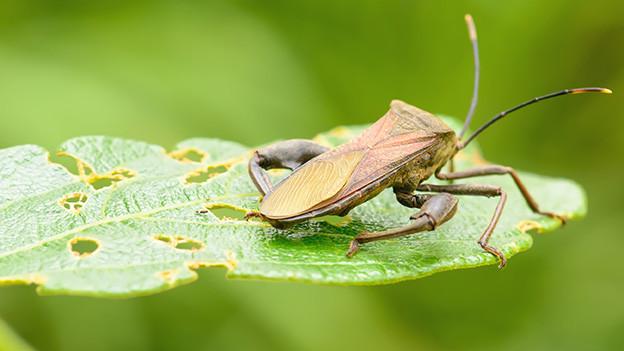 Ein brauner Käfer auf einen grünen Blatt.