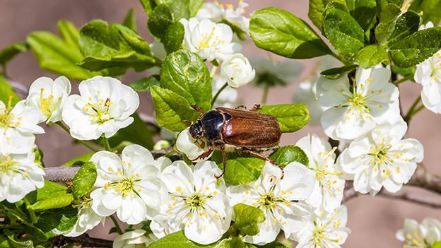 Ein Maikäfer auf einem Ast mit weissen Blüten.