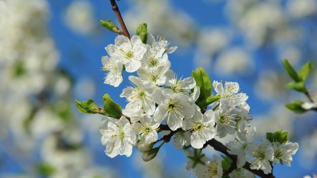 Blüten eines Kirschbaumes.