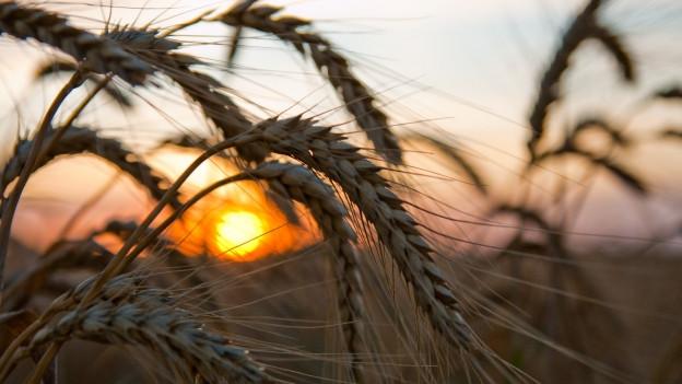 Weizenfeld im Sonnenuntergang.
