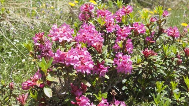 Viele blühende Alpenrosen.