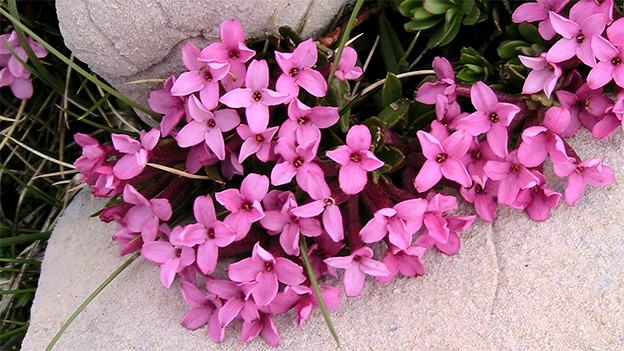Rosarote Blüten zwischen Steinen.