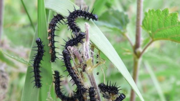 Raupen fressen Blätter.