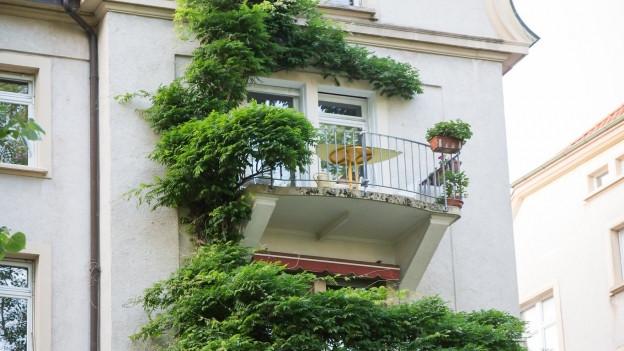 Kletterpflanze an Hausfassade.