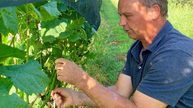 Winzer befreit Rebe von Blättern und unnötigen Trieben.