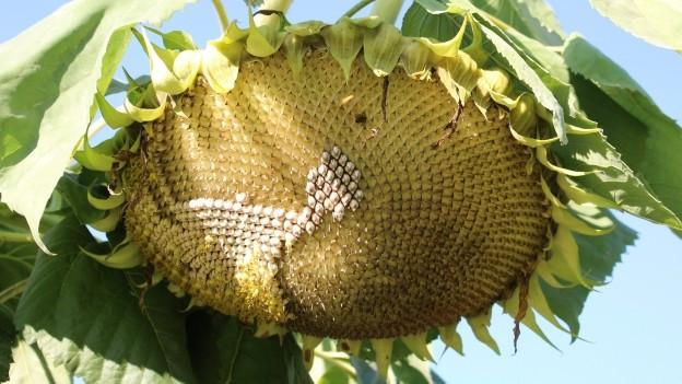 Samen von einer Sonnenblume.