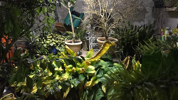 Viele Pflanzen in einem Naturkeller.