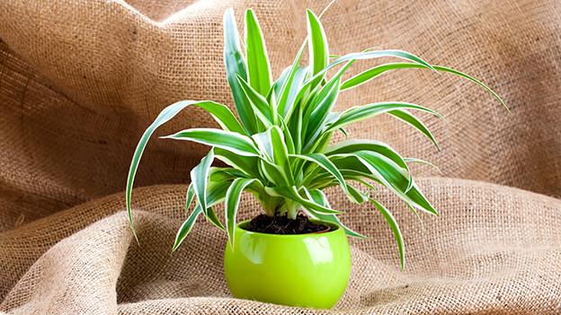 Eine Topfpflanze.