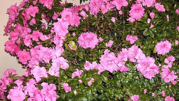 Eine rosa blühende Zimmerpflanzen-Azalee.