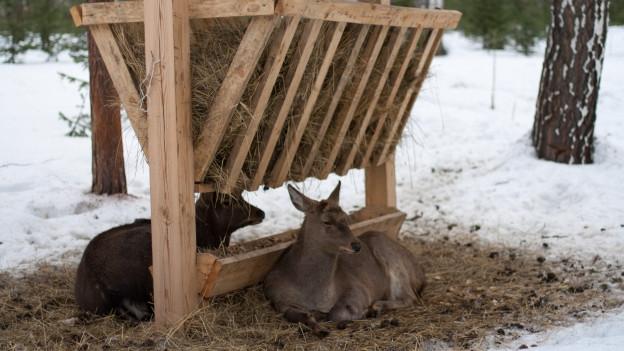Zwei Rehe liegen neben dem Futtertrog mit Heu am Boden.